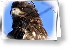 Juvenile Eagle Greeting Card