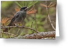 Juvenile Gray Jay Greeting Card