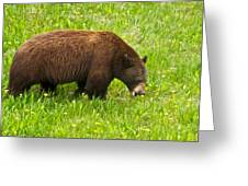 Juvenile Grizzly Bear In Kootenay Np-bc Greeting Card