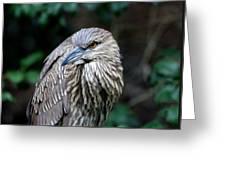 Juvenile Heron Greeting Card