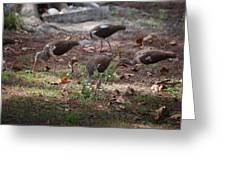 Juvenile Ibis Greeting Card