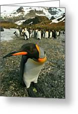 Juvenile King Penguin Greeting Card