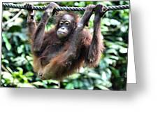 Juvenile Orangutan Borneo Greeting Card