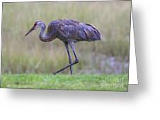 Juvenile Sandhill Greeting Card