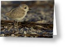 Juvenile Snowy Plover Photo Greeting Card