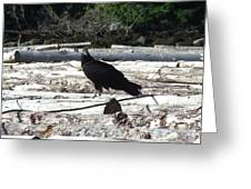 Juvenile Turkey Vulture Greeting Card