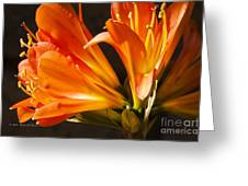 Kaffir Lily Glow Greeting Card