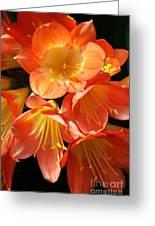 Kaffir Lily Greeting Card