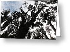 Kahikatea New Zealand Native Tree Greeting Card