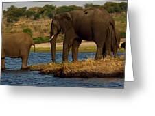 Kalahari Elephants Preparing To Cross Chobe River Greeting Card