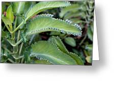 Kalanchoe Leaves Greeting Card