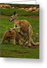 Kangaroo Nursing Its Joey Greeting Card