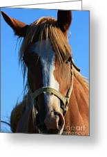 Kansas Horse Potrait Red And White Greeting Card by Robert D  Brozek