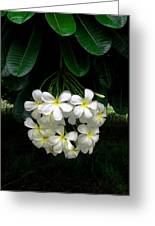 Kawela Plumeria Greeting Card
