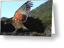 Kea Showing Brilliant Coloration  New Greeting Card