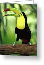 Keel-billed Toucan  Greeting Card