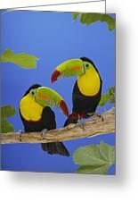 Keel-billed Toucan Pair Greeting Card