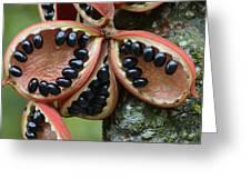 Kelumpang Sarawak Fruit Seeds Sepilok Greeting Card