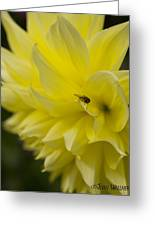 Kelvin Floodlight Dahlia Greeting Card