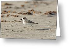 Kentish Plover Greeting Card