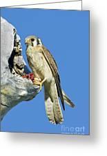 Kestrel At Nest Greeting Card