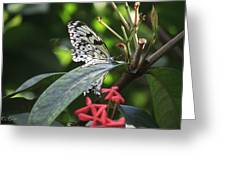 Key West Butterfly Conservatory - Idea Leuconoe Greeting Card