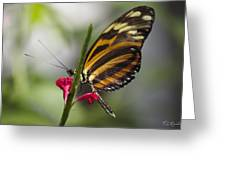 Key West Butterfly Conservatory - Papilio Zagreus Greeting Card