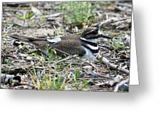 Killdeer Greeting Card