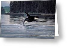 Killer Whale Orcinus Orca Breaching Greeting Card