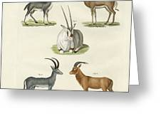 Kinds Of Antilopes Greeting Card