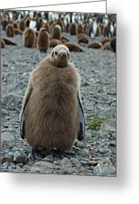 King Penguin Chick Greeting Card