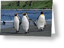 King Penguin Trio On Shoreline Greeting Card