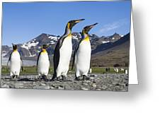 King Penguins St Andrews Bay South Greeting Card