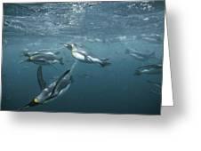 King Penguins Swimming Macquarie Isl Greeting Card