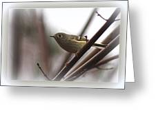 King - Ruby Crowned Kinglet - Bird Greeting Card