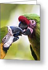 Kissing Macaws Greeting Card