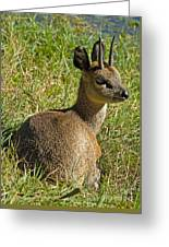 Klipspringer Antelope Greeting Card