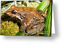 Knudsen Thin Toed Frog Greeting Card