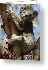 Koala Greeting Card by Bob Christopher
