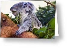 Koala Eating In A Tree Greeting Card