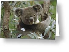 Koala Male In Eucalyptus Australia Greeting Card