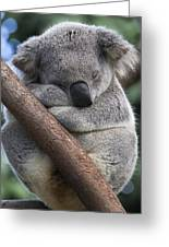 Koala Male Sleeping Australia Greeting Card