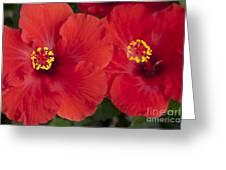 Kokio Ulaula - Tropical Red Hibiscus Greeting Card