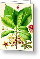 Kola Nut Greeting Card