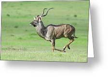 Kudu Bull Running Across Open Veld Greeting Card