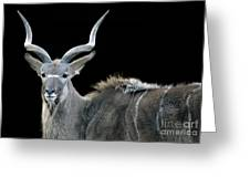 Kudu Greeting Card