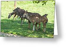 Kudu Antelope In A Straight Line Greeting Card