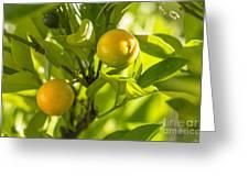 Kumquats Greeting Card