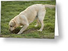 Labrador Checking Hole Greeting Card