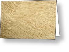 Labrador Coat Greeting Card